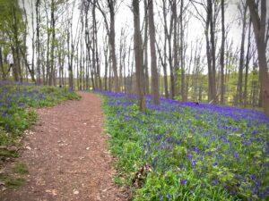デュッセルドルフ在住時に是非ハイキングに行きたいドイツ有数のブルーベルの森「Wald der blauen Blumen」